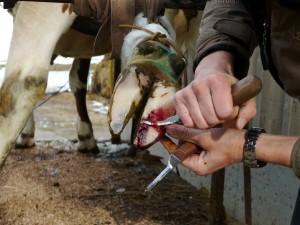 Ausschneiden des Sohlengeschürs mit dem Klauenmesser unter lokaler Schmerzausschaltung